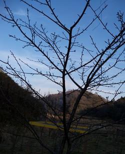 Kawatsusakura