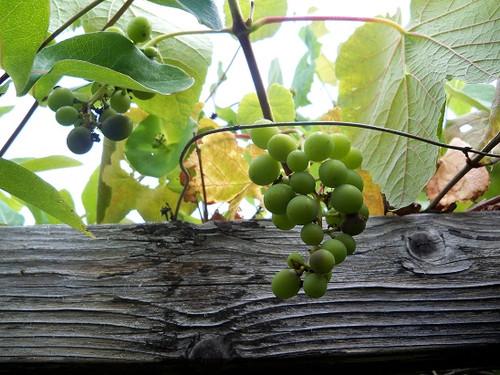 さり気なく葡萄
